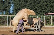 种公牛精液采集