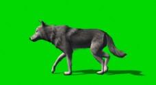 狼走路绿屏抠像视频素材