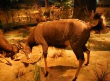 东非条纹羚