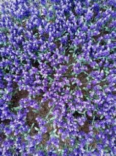 紫色假花坪