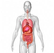 人体内脏立体透视图
