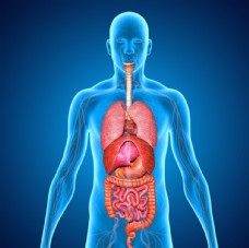 人体内脏3D立体透视图